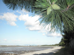 「大新田海岸の松林」 MYU 様(2011年8月)