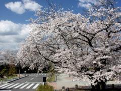 「春爛漫」 マミー 様(2012年4月)