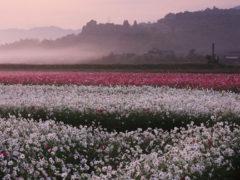 「朝の三光コスモス園」 デジ吉 様(2012年8月)