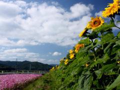 「三光のコスモス祭り1」 マミー 様(2012年10月)