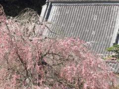 「深泉寺の桜」 デジ吉 様(2014年2月)