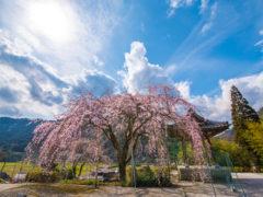 「真浄寺の枝垂れ桜」 E.R 様(2016年4月)