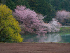 「ため池の山桜」 瀬戸間 様(2016年4月)