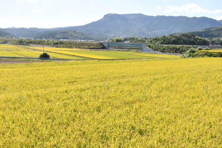 稲穂と八面山