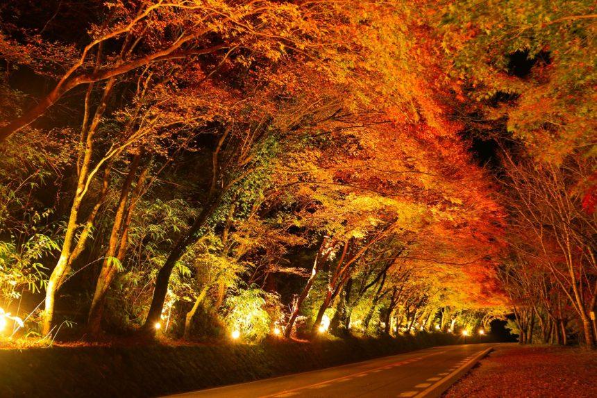 ひさしもみじ(秋のライトアップ)
