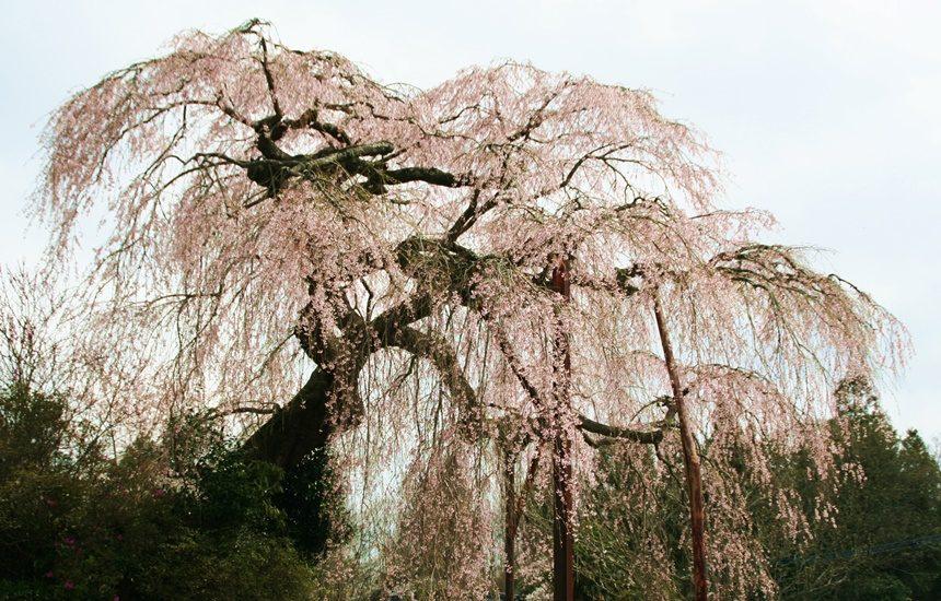 小柿山光円寺のしだれ桜