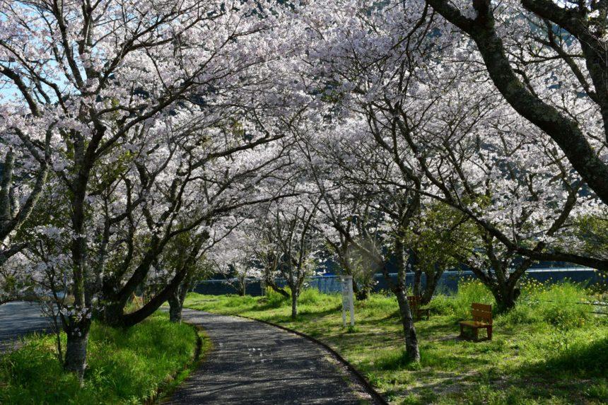 桜(冠石野)