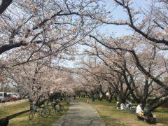 桜(大貞公園)