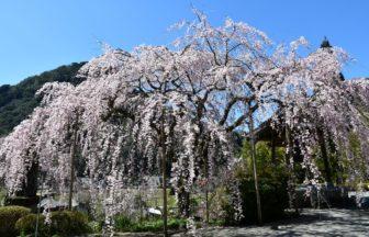 しだれ桜(真浄寺)