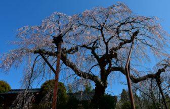 しだれ桜(光円寺)